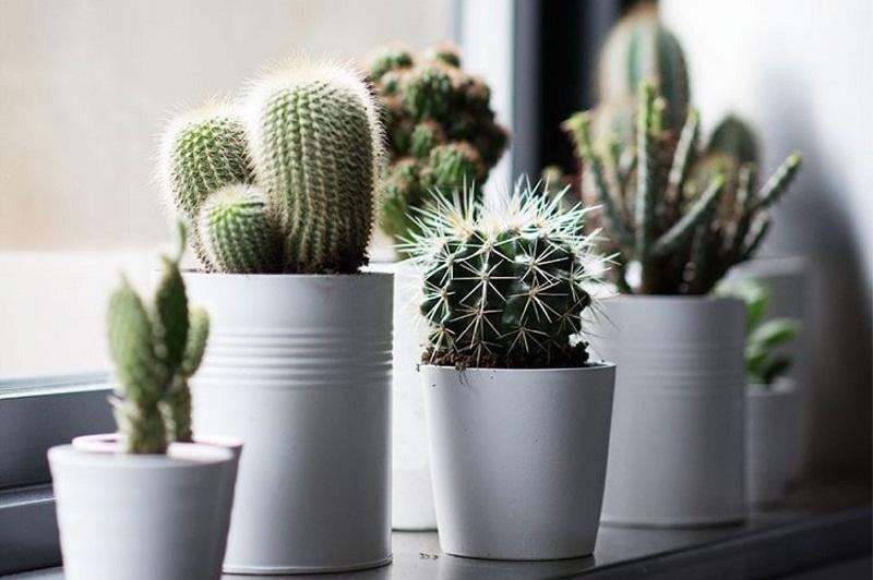 Merawat Kaktus Cantik Untuk Meredakan Stres di Kantor