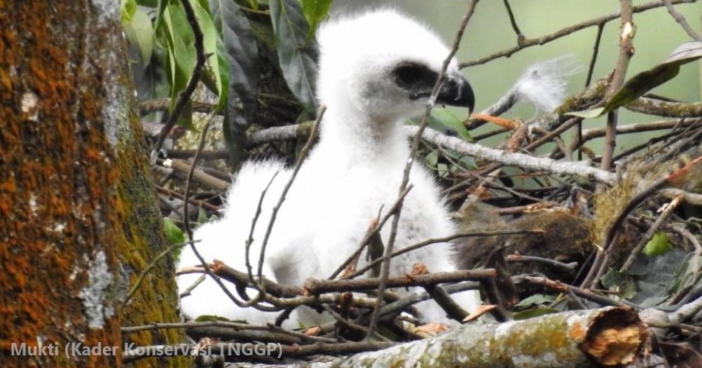 Penguasa Langit Jawa Menetas di Taman Nasional Gunung Gede Pangrango